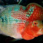 7 Cara Mengatasi Ikan Louhan yang Tak Mau Makan Pelet
