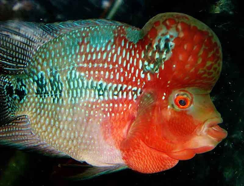 7 Cara Mengatasi Ikan Louhan Yang Tak Mau Makan Pelet Solahart Handal