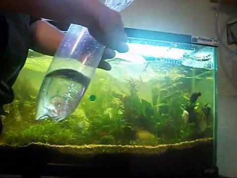 cara memasukkan ikan yang baru dibeli