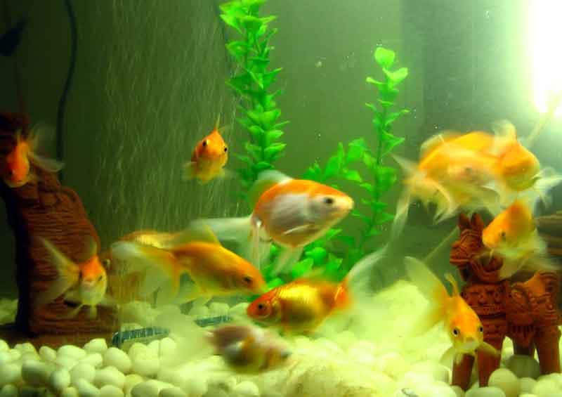 Penyebab Ikan Mati di Aquarium maupun Kolam
