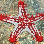 Cara Memelihara Bintang Laut di Akuarium