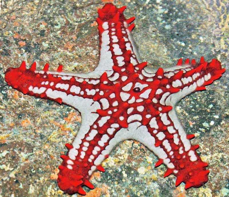 red knob starfish