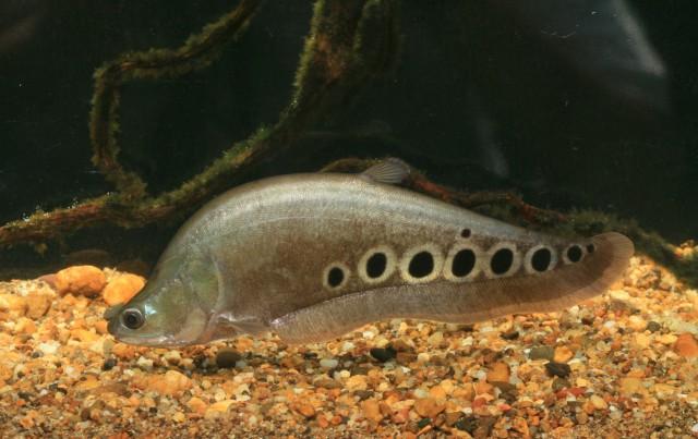Cara Memelihara Ikan Belida di Aquarium