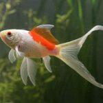 Cara Memelihara Ikan Komet di Aquarium