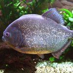 Cara Memelihara Ikan Piranha di Akuarium