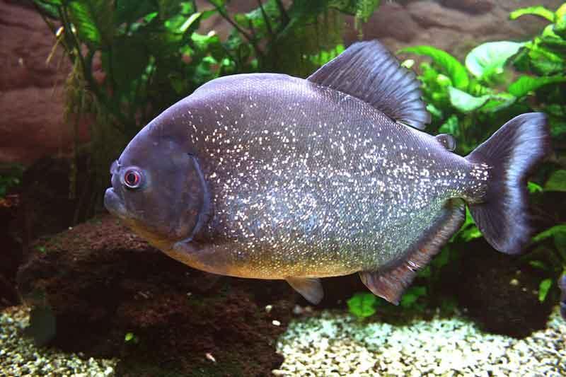 Cara Memelihara Ikan Piranha