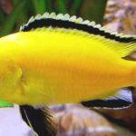 Cara Memelihara Ikan Lemon di Aquarium