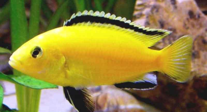 cara memelihara ikan lemon