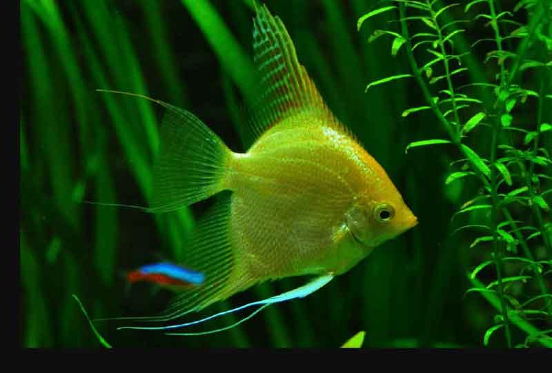 cara memelihara ikan manfish