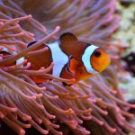 Cara Memelihara Clownfish Alias Ikan Nemo di Akuarium