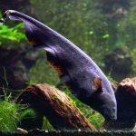 Cara Memelihara Ikan Black Ghost di Aquarium