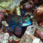 Cara Memelihara Ikan Mandarin di Aquarium