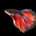 13 Ikan Hias Air Tawar yang Gampang Dipelihara