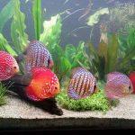 Mengenal Tankmate Ikan Hias
