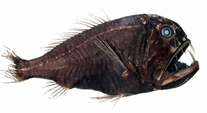 Fangtooth scary Deep-Sea Creatures