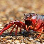Mengenal Lobster Air Tawar alias Crayfish