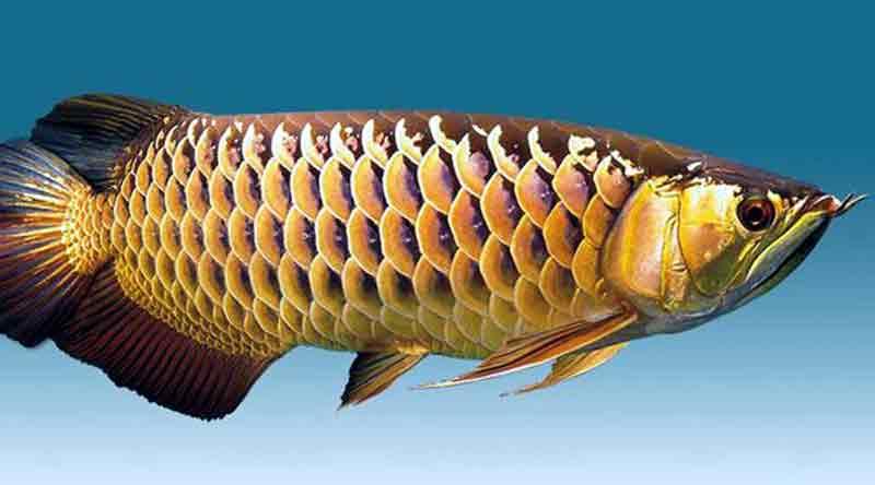 Makanan Terbaik Ikan Arwana Biar Cepat Besar dan Warnanya Bagus