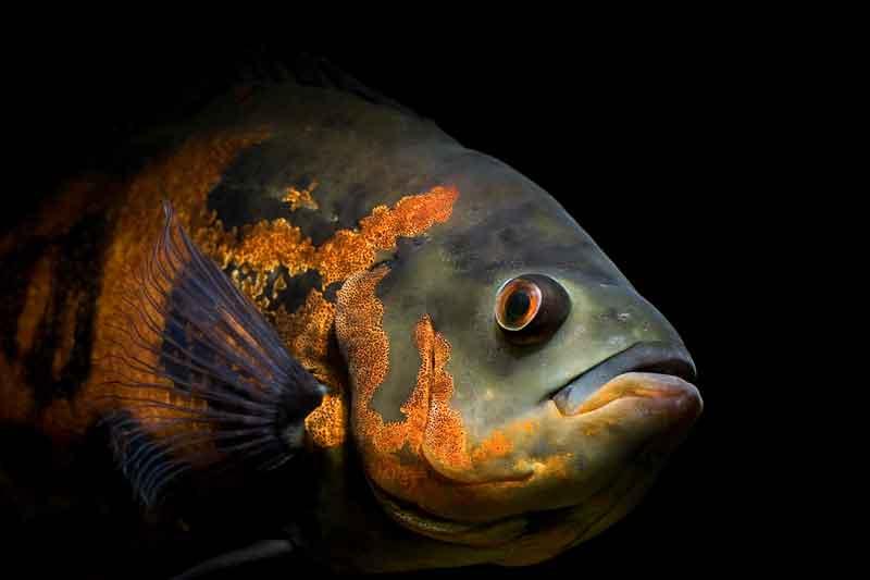 Oscar Ikan yang bisa hidup tanpa aerator