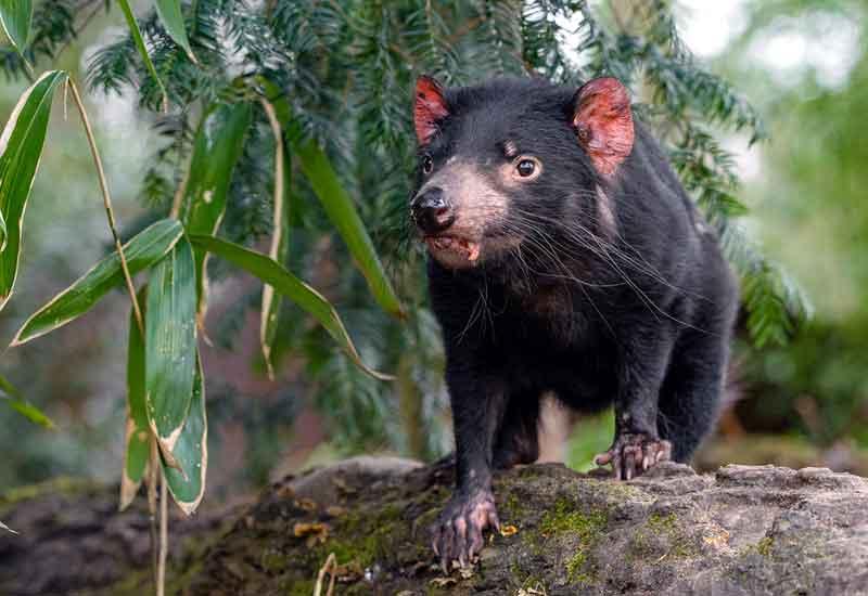 Tasmanian Devil Hewan yang bau