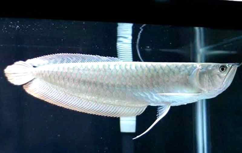 cara memelihara ikan arwana silver