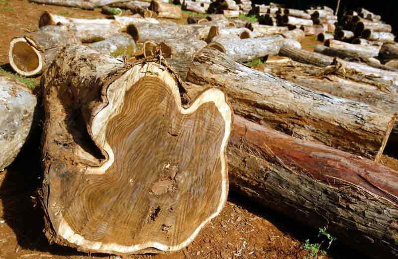 ciri-ciri kayu jati berkualitas